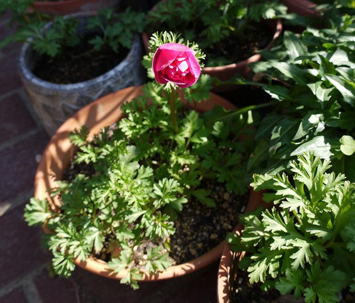 アネモネ・モナークのピンクが咲いた。2017年-4.jpg