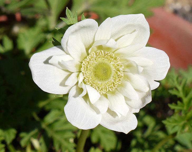 アネモネ・モナークの白が咲いた。2017年-2.jpg