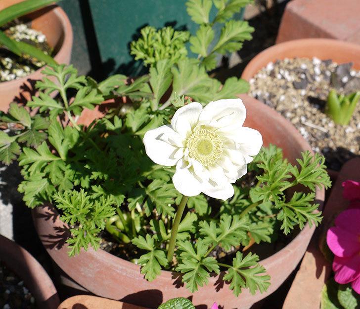アネモネ・モナークの白が咲いた。2017年-3.jpg