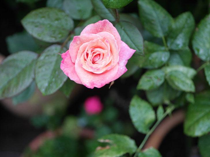 アブラカタブラ(Abracadabra)の2番花がまた咲いた。木立バラ。2020年-001.jpg