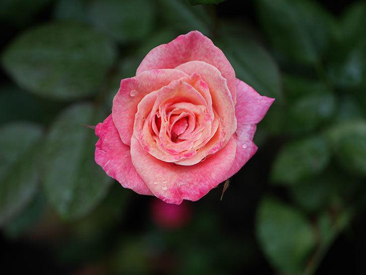 アブラカタブラ(Abracadabra)の2番花がまた咲いた。木立バラ。2020年-002.jpg