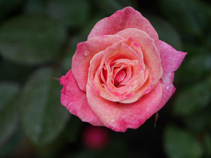 アブラカタブラ(Abracadabra)の2番花がまた咲いた。木立バラ。2020年-003.jpg