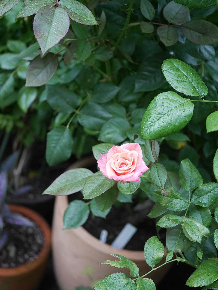 アブラカタブラ(Abracadabra)の2番花がまた咲いた。木立バラ。2020年-006.jpg