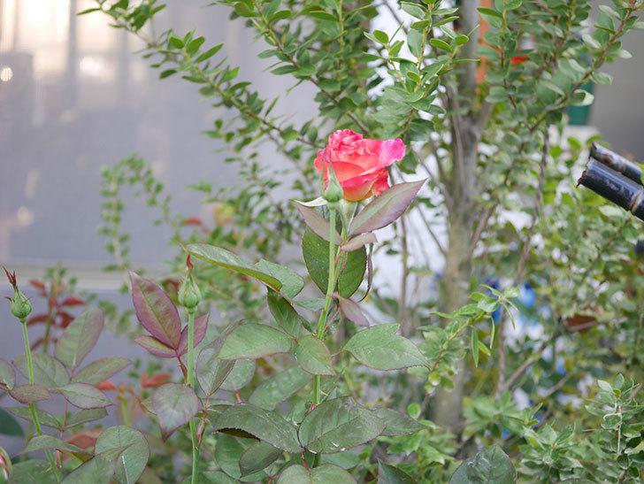 アブラカタブラ(Abracadabra)の2番花が咲いた。木立バラ。2020年-001.jpg