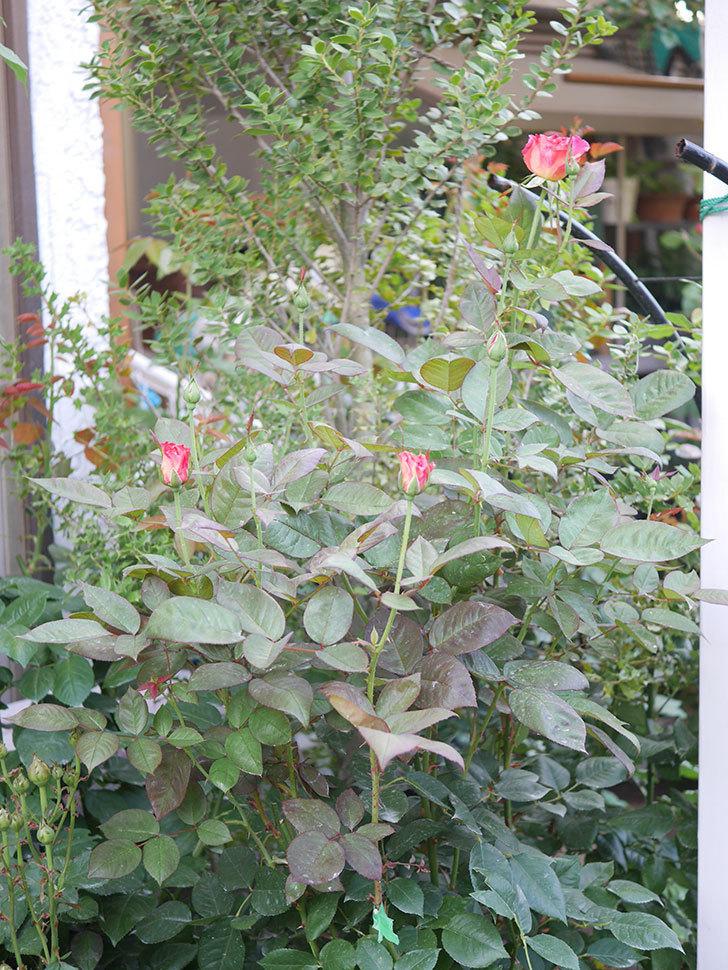 アブラカタブラ(Abracadabra)の2番花が咲いた。木立バラ。2020年-002.jpg