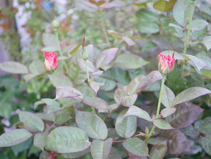 アブラカタブラ(Abracadabra)の2番花が咲いた。木立バラ。2020年-003.jpg