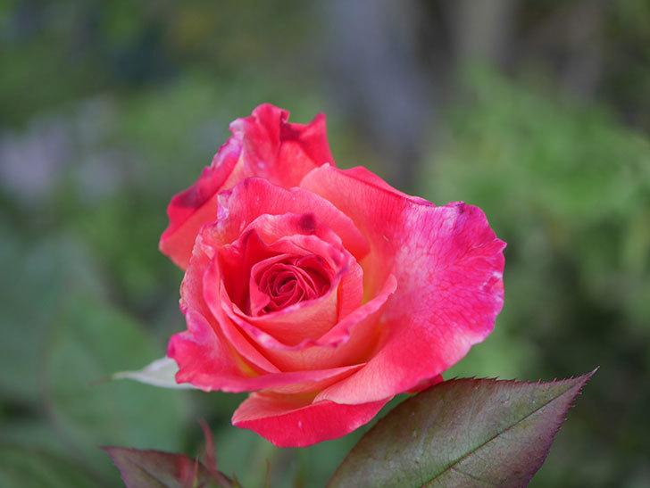 アブラカタブラ(Abracadabra)の2番花が咲いた。木立バラ。2020年-013.jpg