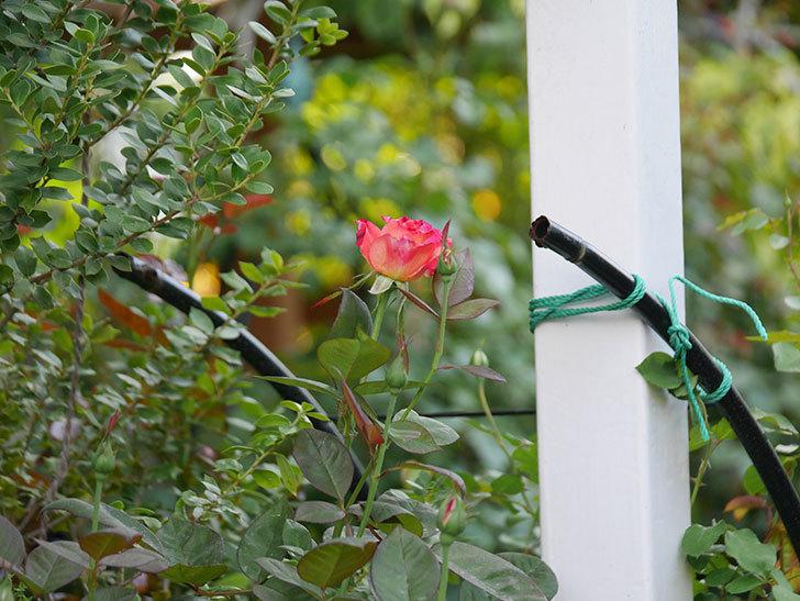 アブラカタブラ(Abracadabra)の2番花が咲いた。木立バラ。2020年-014.jpg