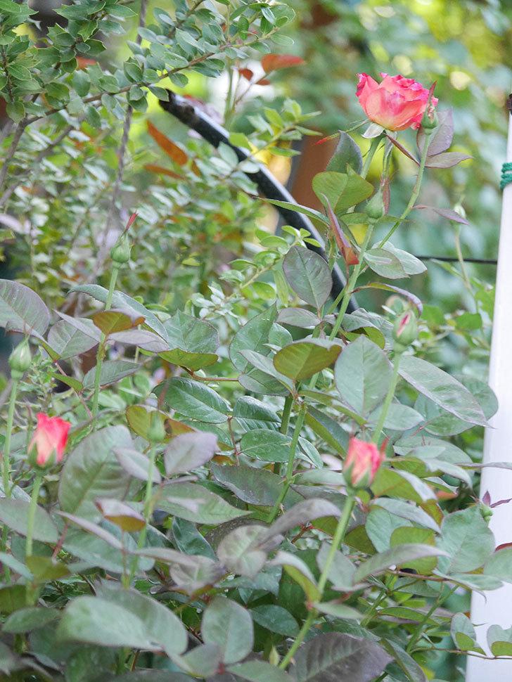 アブラカタブラ(Abracadabra)の2番花が咲いた。木立バラ。2020年-016.jpg