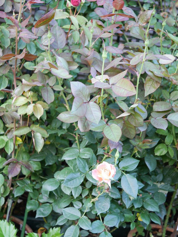 アブラカタブラ(Abracadabra)の2番花が咲いた。木立バラ。2021年-001.jpg