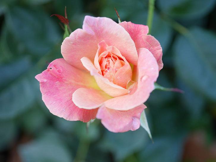 アブラカタブラ(Abracadabra)の2番花が咲いた。木立バラ。2021年-002.jpg