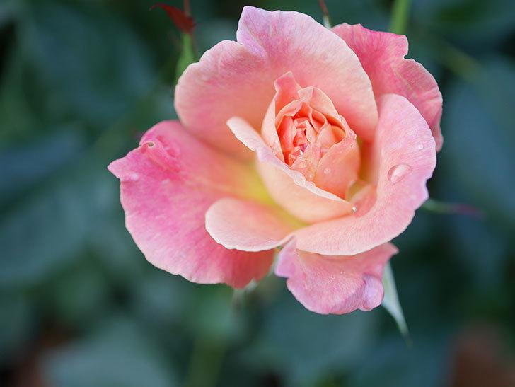 アブラカタブラ(Abracadabra)の2番花が咲いた。木立バラ。2021年-003.jpg