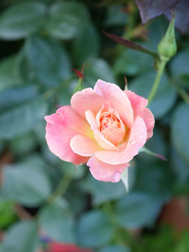 アブラカタブラ(Abracadabra)の2番花が咲いた。木立バラ。2021年-005.jpg
