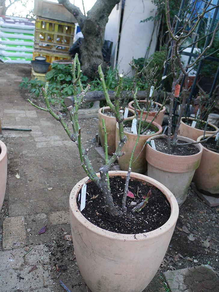 アブラカタブラ(Abracadabra)の冬剪定をした。木立バラ。2021年-017.jpg