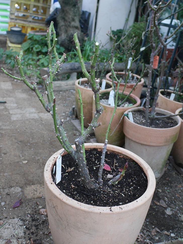 アブラカタブラ(Abracadabra)の冬剪定をした。木立バラ。2021年-018.jpg