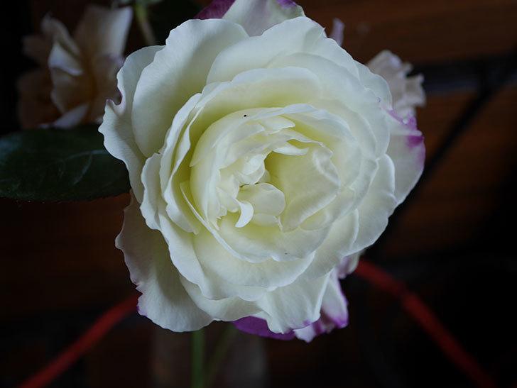 アブラカタブラ(Abracadabra)の秋花が白く咲いた。木立バラ。2020年-001.jpg