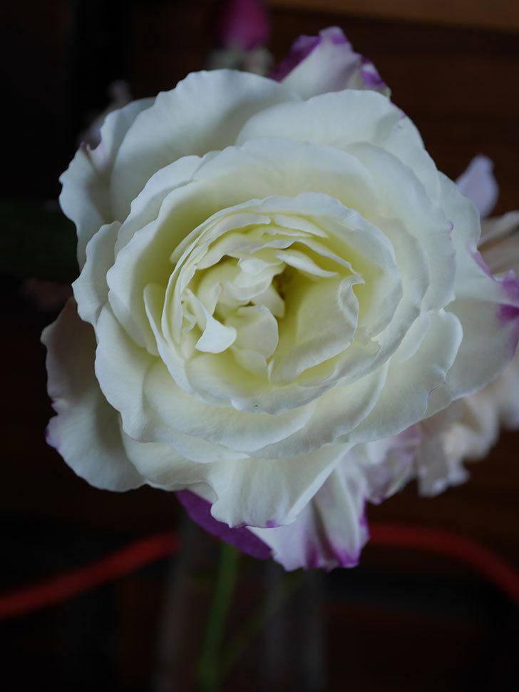 アブラカタブラ(Abracadabra)の秋花が白く咲いた。木立バラ。2020年-002.jpg