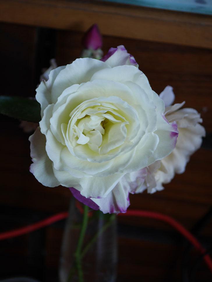アブラカタブラ(Abracadabra)の秋花が白く咲いた。木立バラ。2020年-003.jpg