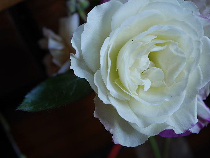 アブラカタブラ(Abracadabra)の秋花が白く咲いた。木立バラ。2020年-004.jpg