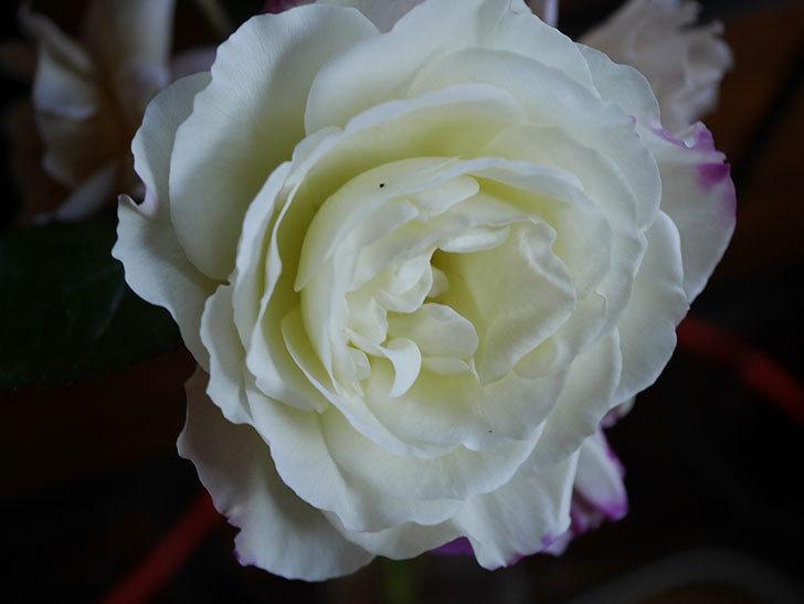 アブラカタブラ(Abracadabra)の秋花が白く咲いた。木立バラ。2020年-005.jpg
