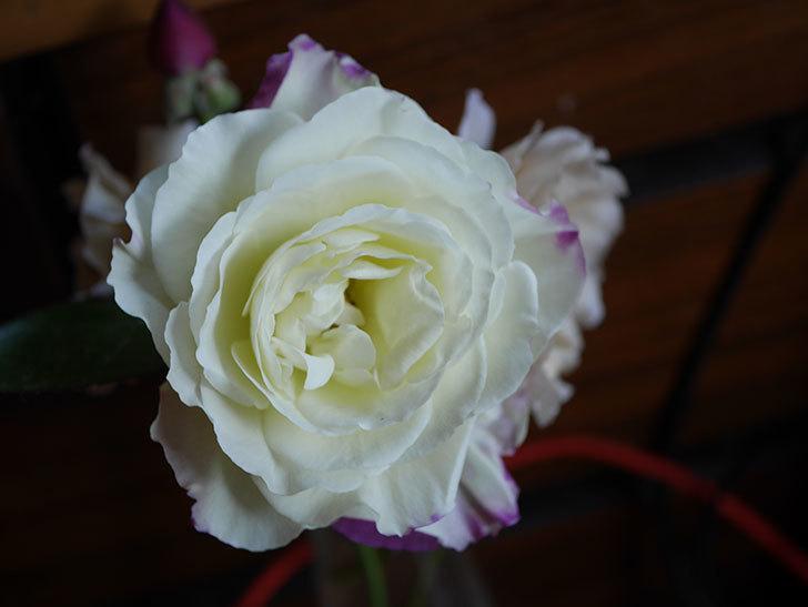 アブラカタブラ(Abracadabra)の秋花が白く咲いた。木立バラ。2020年-006.jpg