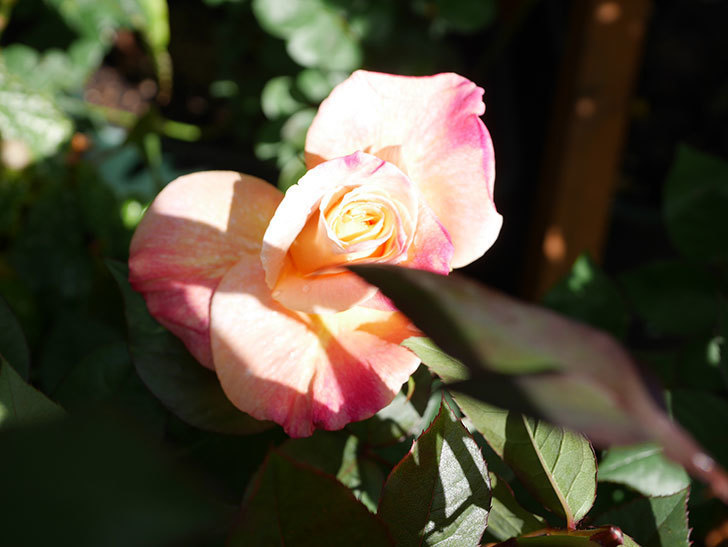 アブラカタブラ(Abracadabra)の花が咲いた。木立バラ。2021年-005.jpg