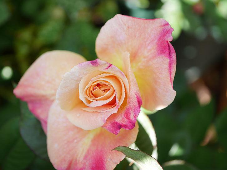 アブラカタブラ(Abracadabra)の花が咲いた。木立バラ。2021年-006.jpg