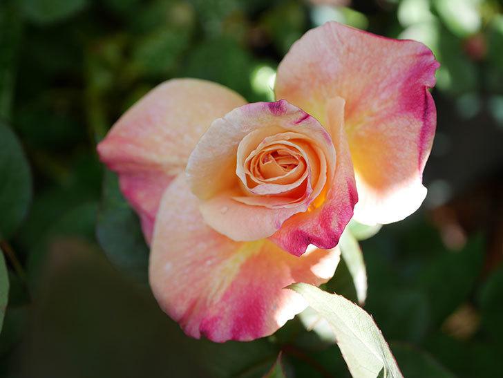 アブラカタブラ(Abracadabra)の花が咲いた。木立バラ。2021年-008.jpg