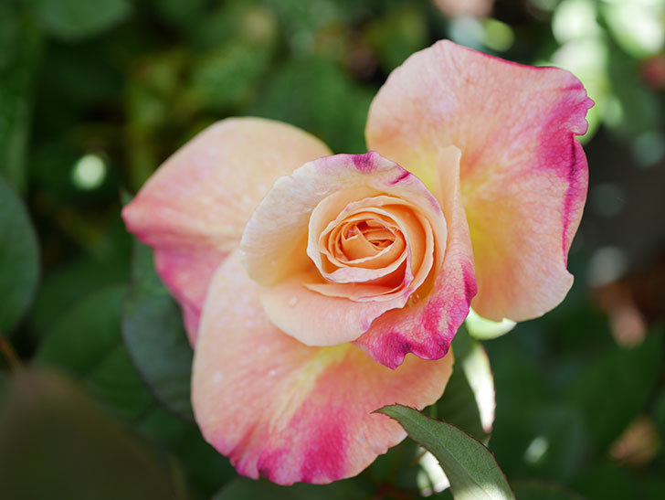 アブラカタブラ(Abracadabra)の花が咲いた。木立バラ。2021年-009.jpg