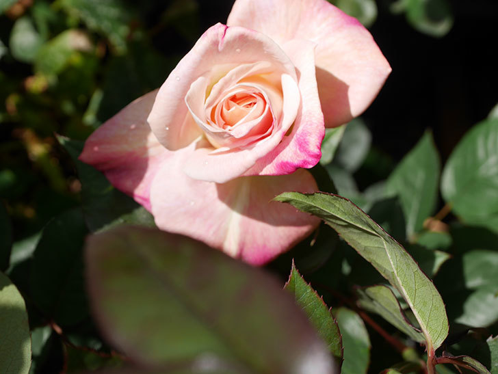 アブラカタブラ(Abracadabra)の花が咲いた。木立バラ。2021年-014.jpg