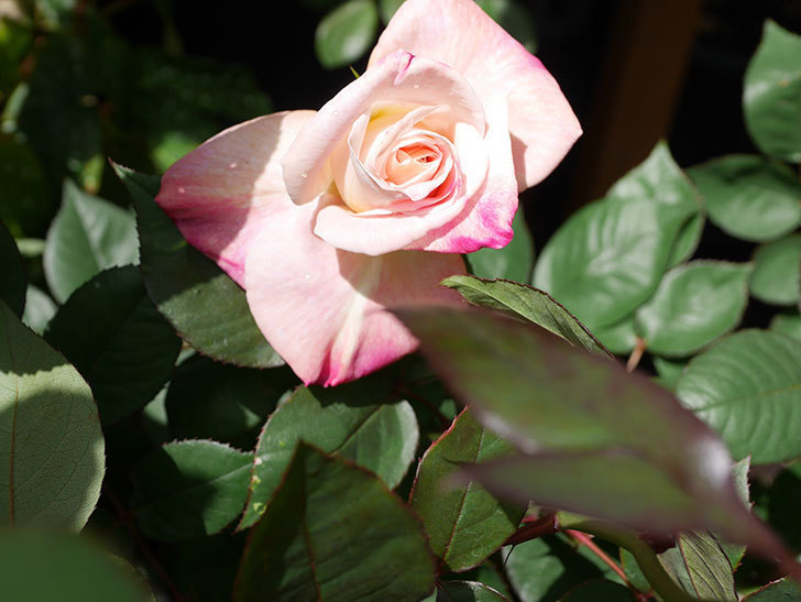 アブラカタブラ(Abracadabra)の花が咲いた。木立バラ。2021年-015.jpg