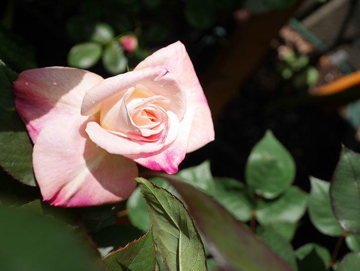 アブラカタブラ(Abracadabra)の花が咲いた。木立バラ。2021年-016.jpg