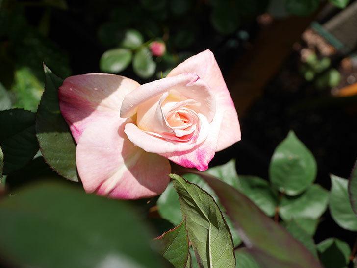 アブラカタブラ(Abracadabra)の花が咲いた。木立バラ。2021年-017.jpg