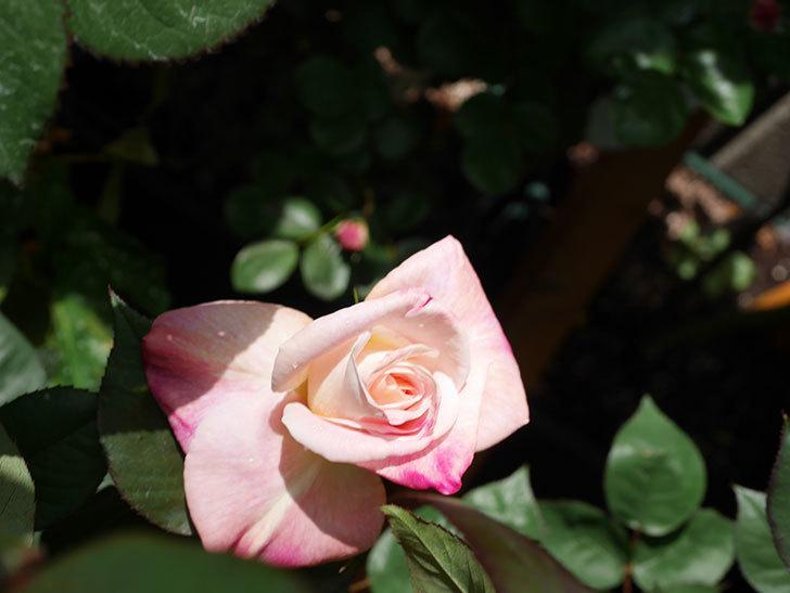 アブラカタブラ(Abracadabra)の花が咲いた。木立バラ。2021年-018.jpg