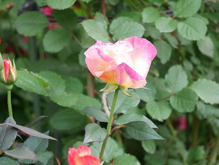 アブラカタブラ(Abracadabra)の花が増えてきた。木立バラ。2021年-008.jpg
