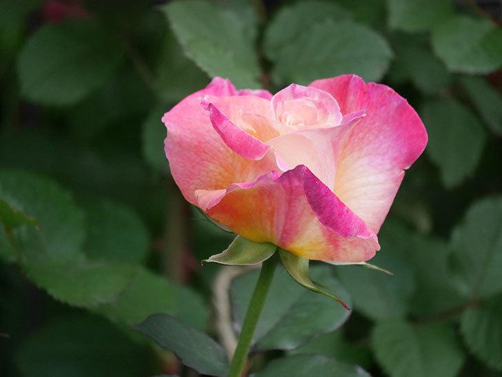 アブラカタブラ(Abracadabra)の花が増えてきた。木立バラ。2021年-009.jpg