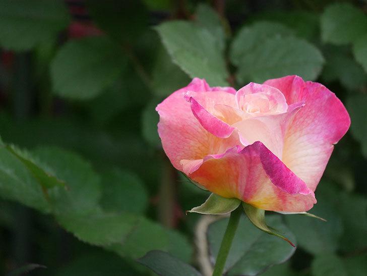 アブラカタブラ(Abracadabra)の花が増えてきた。木立バラ。2021年-010.jpg