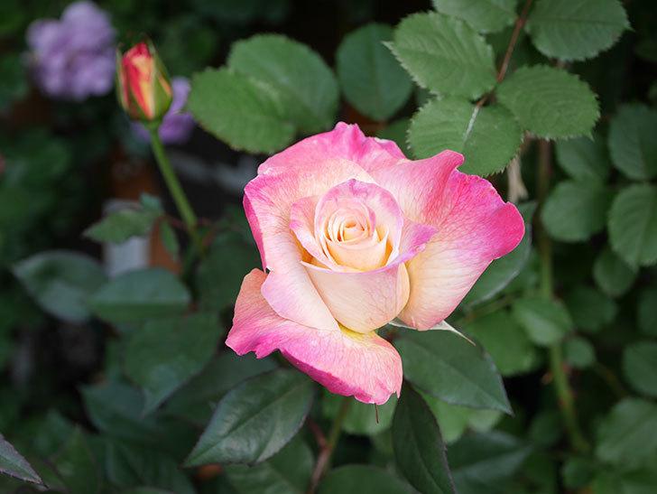 アブラカタブラ(Abracadabra)の花が増えてきた。木立バラ。2021年-015.jpg