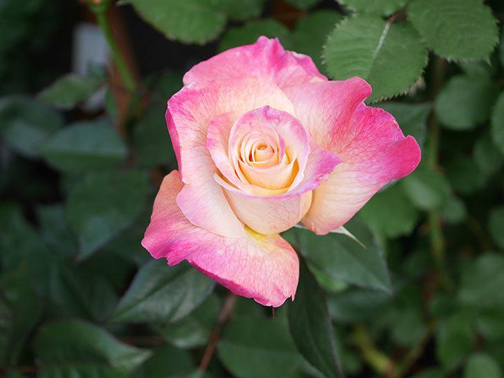 アブラカタブラ(Abracadabra)の花が増えてきた。木立バラ。2021年-016.jpg