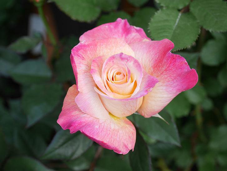 アブラカタブラ(Abracadabra)の花が増えてきた。木立バラ。2021年-017.jpg