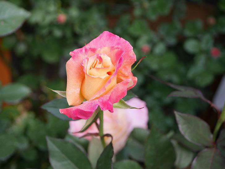アブラカタブラ(Abracadabra)の花が増えてきた。木立バラ。2021年-018.jpg