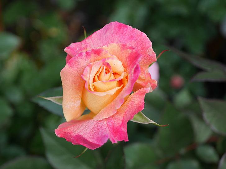 アブラカタブラ(Abracadabra)の花が増えてきた。木立バラ。2021年-019.jpg