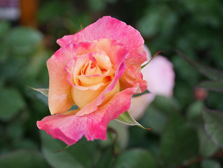アブラカタブラ(Abracadabra)の花が増えてきた。木立バラ。2021年-020.jpg