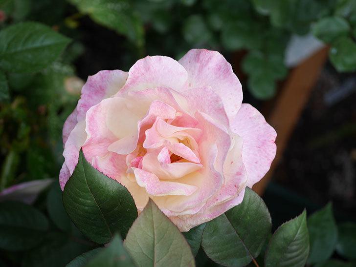 アブラカタブラ(Abracadabra)の花が増えてきた。木立バラ。2021年-021.jpg
