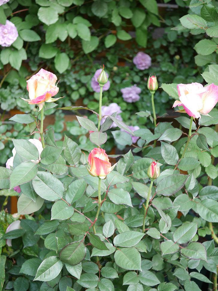 アブラカタブラ(Abracadabra)の花が増えてきた。木立バラ。2021年-023.jpg