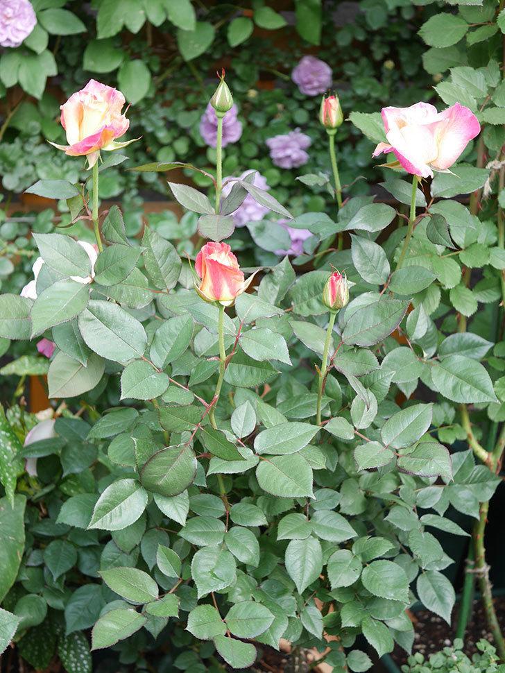 アブラカタブラ(Abracadabra)の花が増えてきた。木立バラ。2021年-024.jpg