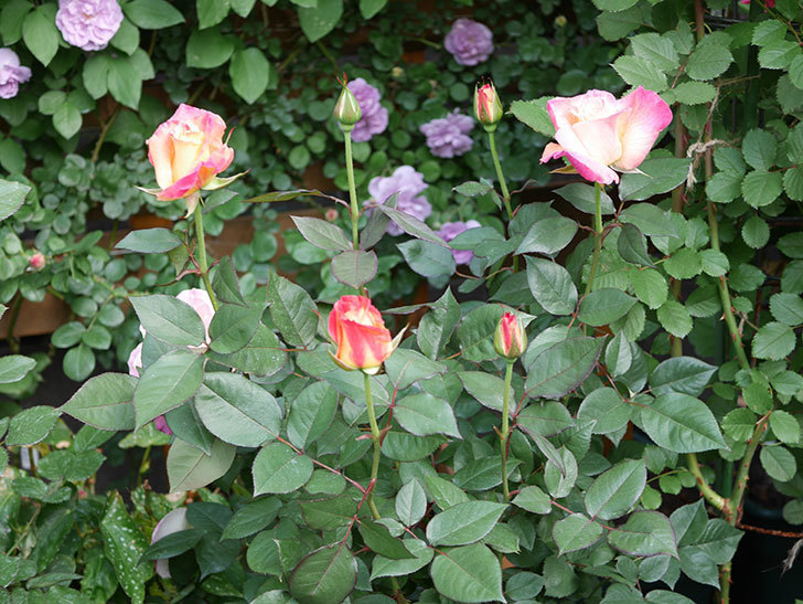 アブラカタブラ(Abracadabra)の花が増えてきた。木立バラ。2021年-025.jpg