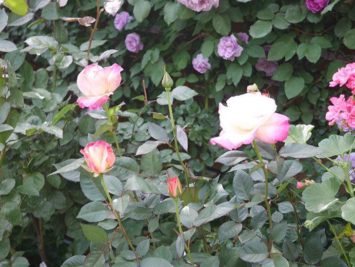 アブラカタブラ(Abracadabra)の花が増えてきた。木立バラ。2021年-026.jpg