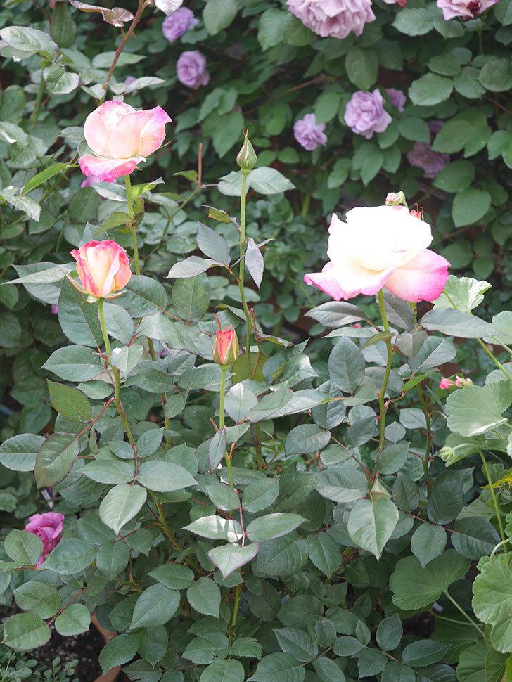 アブラカタブラ(Abracadabra)の花が増えてきた。木立バラ。2021年-027.jpg