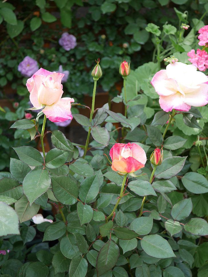 アブラカタブラ(Abracadabra)の花が増えてきた。木立バラ。2021年-028.jpg